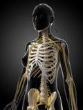 Female nervous system Royalty Free Stock Photo