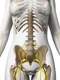 Female nervous system Stock Photos