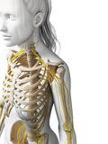 Female nervous system Royalty Free Stock Photography