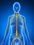 Female nervous system Stock Images