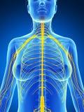 Female nervous system Stock Photo