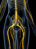 Female nervous system Stock Photography