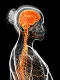 The female nervous system Royalty Free Stock Photo