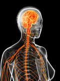 The female nervous system Stock Photography