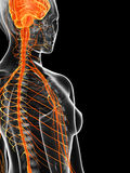 The female nervous system Royalty Free Stock Images