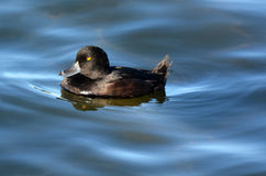 Female New Zealand scaup cygnet Royalty Free Stock Images