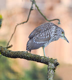 Female Night Heron. On a tree branch, intent on fishing Royalty Free Stock Photos