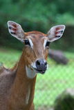 A Female Nilgai Royalty Free Stock Photo