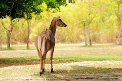 Female Nilgai antelope Royalty Free Stock Photo