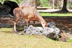 Female Nilgai antelope eating Stock Photo