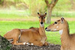 Female Nilgai antelopes Royalty Free Stock Photo