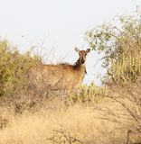 Female Nilgai Antelope Stock Image