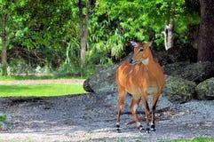 Female Nilgai antelope Royalty Free Stock Images