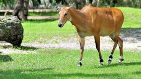 Female Nilgai antelope in zoo Royalty Free Stock Image