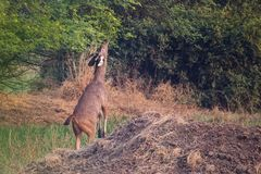 Female Nilgai Boselaphus tragocamelus feeding in Keoladeo Ghan Stock Photo