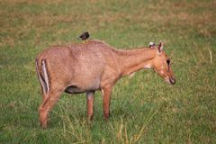 Female Nilgai with Brahminy myna sitting on her in Keoladeo Nati. Onal Park, Bharatpur, India. Nilgai is the largest Asian antelope and is endemic to the Indian Royalty Free Stock Photos