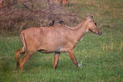 Female Nilgai with Brahminy mynas sitting on her in Keoladeo Nat Royalty Free Stock Photography