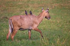 Female Nilgai with Brahminy mynas sitting on her in Keoladeo Nat. Ional Park, Bharatpur, India. Nilgai is the largest Asian antelope and is endemic to the Indian Stock Photos