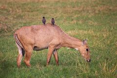 Female Nilgai with Brahminy mynas sitting on her in Keoladeo Nat. Ional Park, Bharatpur, India. Nilgai is the largest Asian antelope and is endemic to the Indian Stock Photography