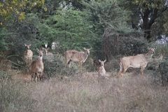 Female Nilgai herd Royalty Free Stock Images
