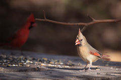 Female norther cardinal Stock Photo