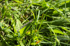 Female Northern Bluet Damselfly on Grass Stock Photo