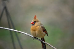 Female Northern Cardinal Stock Photo