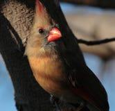 Female Northern Cardinal. At sunset Stock Image