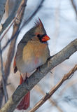 Female Northern Cardinal. Photograph of a beautiful vibrant female Northern Cardinal perched in a tree in a winter woodland Royalty Free Stock Image