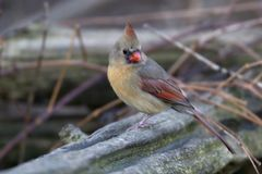Female Northern Cardinal. Perched on a log stock images