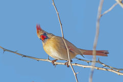 Female Northern Cardinal Royalty Free Stock Image
