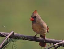 Female Northern Cardinal Stock Image