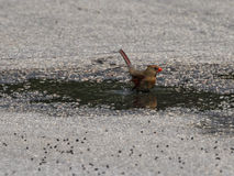 Female Northern Cardinal Bathing in a Puddle Stock Image