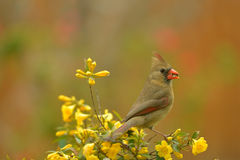 Female Northern cardinal. Beautiful bird visit garden in spring time stock photo