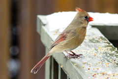 Female Northern Cardinal. This beautiful female Northern Cardinal is eating some seeds on the deck railing in the middle of a Canadian February winter stock images