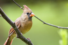 Female Northern Cardinal bird Royalty Free Stock Photo