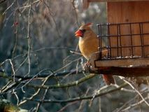 Female Northern Cardinal. Bird with brown body and red beak and crest at a midwestern garden bird feeder outdoors Stock Image