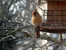 Female northern cardinal bird. With brown body and red beak and crest at a midwestern garden bird feeder Stock Photo