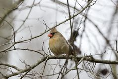 Female Northern Cardinal bird, Georgia, USA. Orange female Cardinal songbird perched on branch in winter. Photographed on four days of birding in Clarke and royalty free stock photography