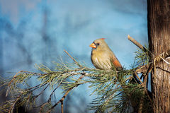 Female Northern Cardinal. Bird sits on an evergreen branch with blue sky behind her Stock Photography