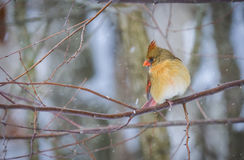 Female Northern Cardinal bird in winter. Female Northern Cardinal bird on branches of tree in winter snow Royalty Free Stock Photos