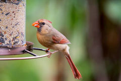 Female Northern Cardinal at birdfeeder Stock Photography