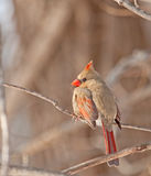 Female Northern Cardinal (Cardinalis cardinalis) Royalty Free Stock Photography