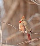 Female Northern Cardinal (Cardinalis cardinalis) Royalty Free Stock Photography