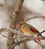 Female Northern Cardinal, Cardinalis cardinalis Royalty Free Stock Photography