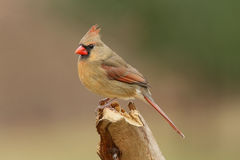 Female Northern Cardinal (cardinalis cardinalis) Royalty Free Stock Image
