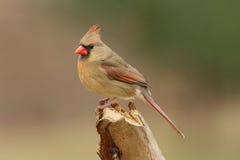 Female Northern Cardinal (cardinalis Cardinalis)