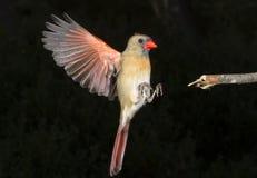 Female Northern Cardinal (Cardinalis Cardinalis) Flying