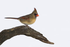 Female Northern Cardinal (Cardinalis cardinalis) Royalty Free Stock Photos
