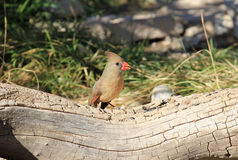 Female Northern Cardinal Feeding Royalty Free Stock Images
